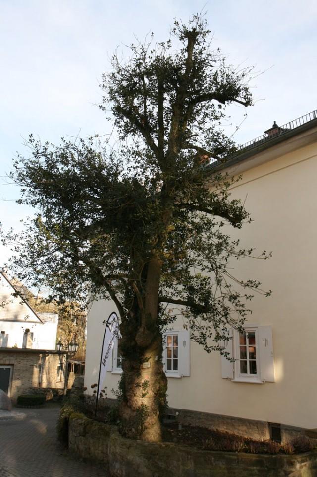 Ilex aquifolium, Stechpalme, vor dem historischen Gärtnerhaus in Braunfels, 2019 (Foto: V. A. Bouffier)