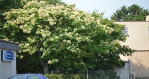 Bienenbaum (Tetradium daniellii) in Blüte (B. Jaesch)