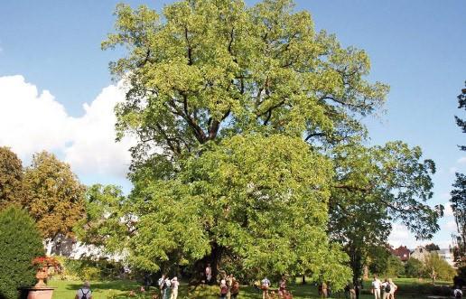 Die rund 170 Jahre alte Schwarznuss (*Juglans nigra, 6,70 m Stammumfang*) im Schlosspark Ebnet wurde als Champion Tree ausgezeichnet.