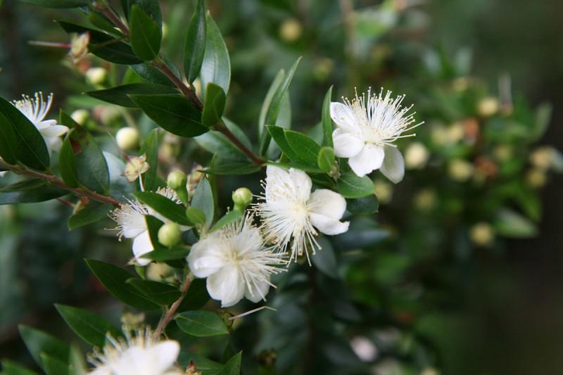 Blüte der Brautmyrte (*Myrtus communis*), Foto: Volker A. Bouffier